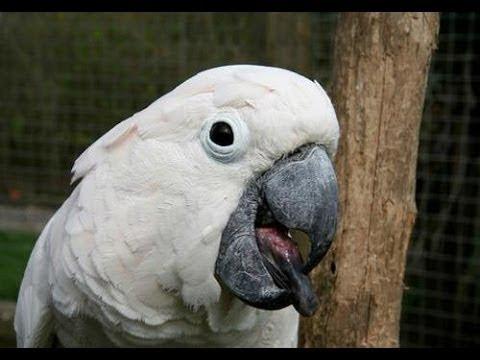 παπαγάλο