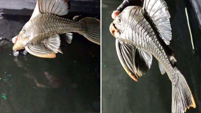 Δείτε το ψάρι-τέρας με τη «σιδερένια» πανοπλία | ΒΙΝΤΕΟ