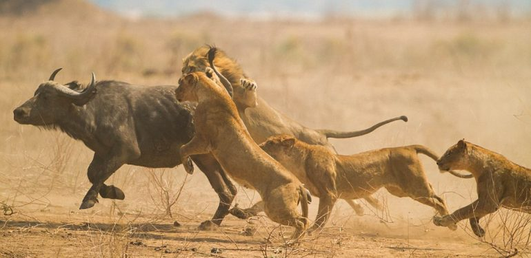 λιοντάρια