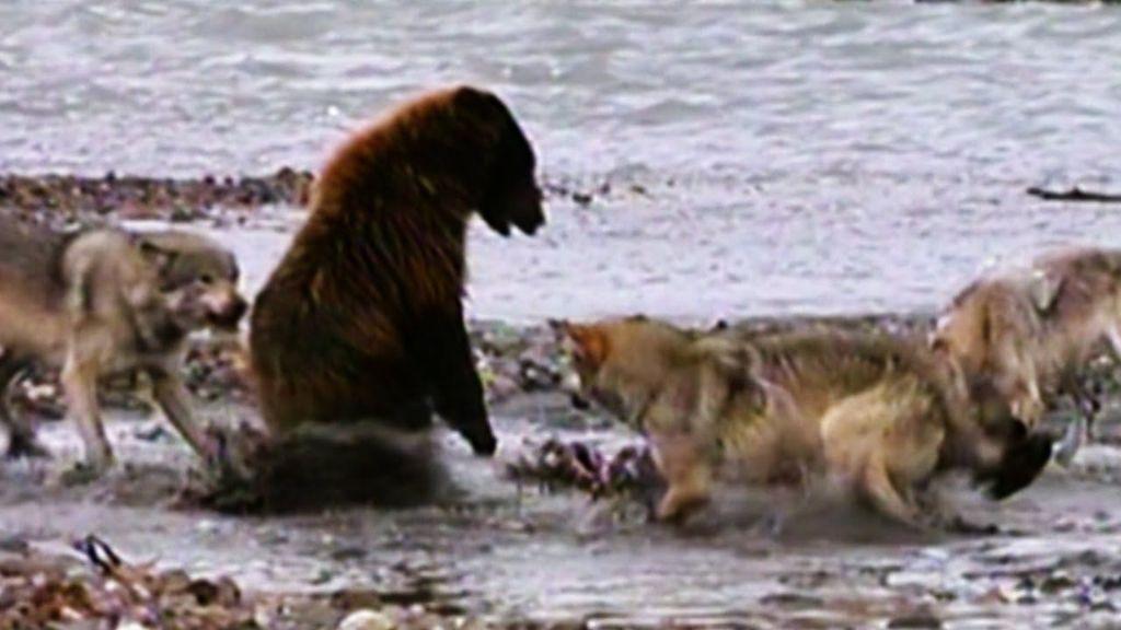 Μάχη θανάτου: Λύκοι περικυκλώνουν αρκούδα γκρίζλι! | ΒΙΝΤΕΟ