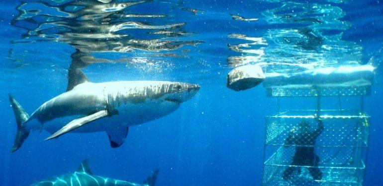 Τρόμος: Λευκός Καρχαρίας μπαίνει μέσα στο κλουβί του δύτη! | ΒΙΝΤΕΟ