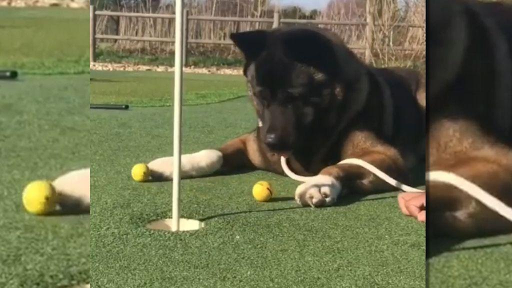 Απίστευτος σκύλαρος παίζει γκολφ και ΤΡΕΛΑΙΝΕΙ το ίντερνετ! | ΒΙΝΤΕΟ