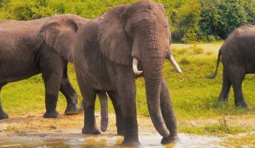 Απίστευτο: Ανακάλυψαν αφρικανικό ελέφαντα με... 5 «πόδια»! | ΒΙΝΤΕΟ