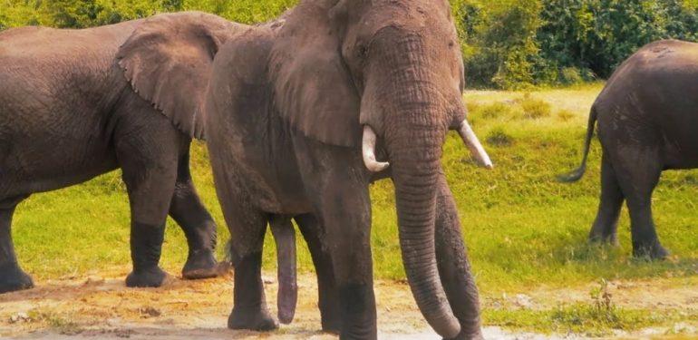 Απίστευτο: Ανακάλυψαν αφρικανικό ελέφαντα με... 5 «πόδια»!   ΒΙΝΤΕΟ