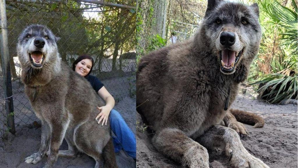 Λύκος-τέρας κάνει σαν κουτάβι και ζητάει χάδια! | ΒΙΝΤΕΟ