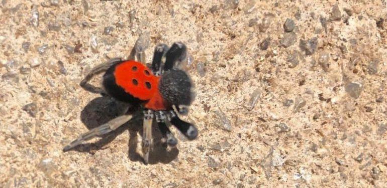 αράχνη πασχαλίτσα
