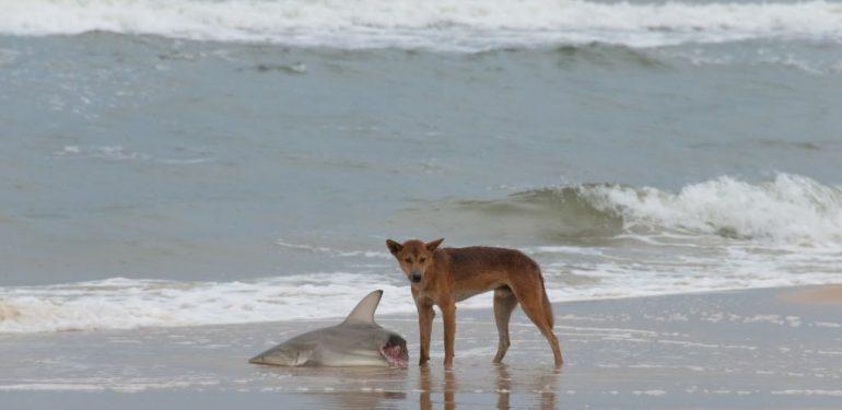 Ατρόμητος σκύλαρος τα βάζει με... καρχαρίες!   ΒΙΝΤΕΟ