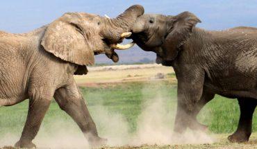 Μάχη Γιγάντων: Ελέφαντας εναντίον ελέφαντα! | ΒΙΝΤΕΟ