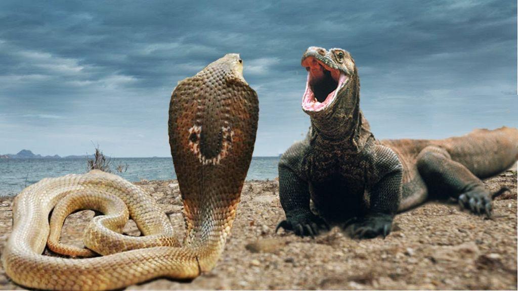 Δράκος του Κομόντο ΤΣΑΚΙΖΕΙ βασιλική κόμπρα! | ΒΙΝΤΕΟ (YOUTUBE)