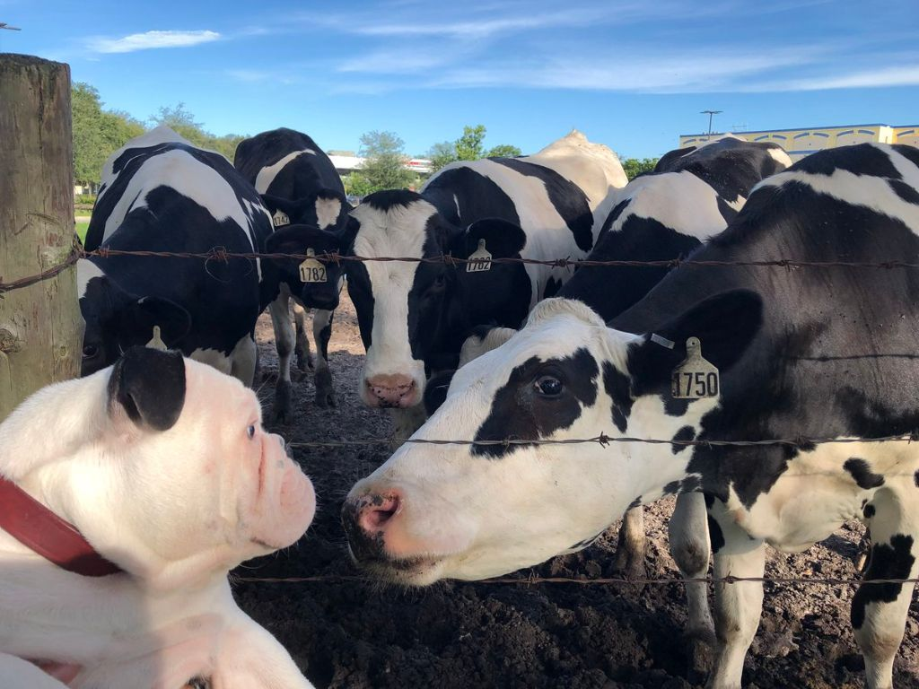 Μπουλντόγκ βλέπει αγελάδα και την... τρελαίνει στα φιλιά! | ΒΙΝΤΕΟ