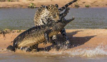 Τζάγκουαρ ΤΣΑΚΙΖΕΙ κροκόδειλο με μία κίνηση! | ΒΙΝΤΕΟ