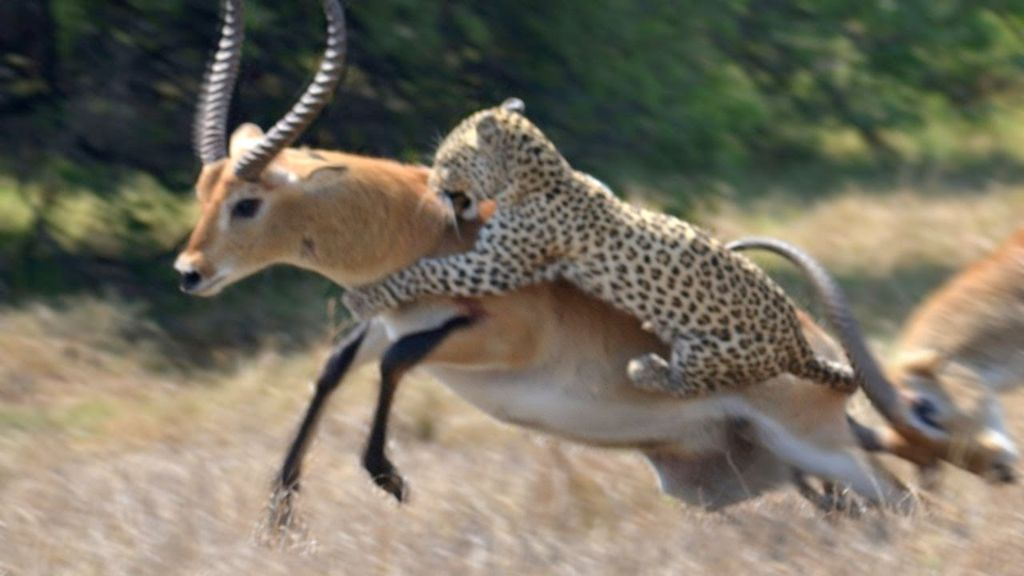 αντιλόπη λεοπάρδαλη