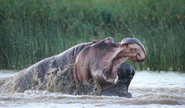 Μάχη μέχρι θανάτου: Ιπποπόταμος εναντίον ιπποπόταμου! | ΒΙΝΤΕΟ