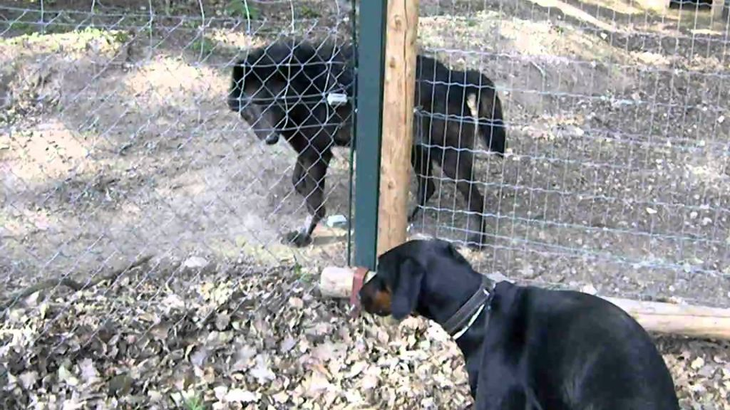 Επικό βίντεο: Ντόμπερμαν στέκεται «σούζα» μπροστά σε... λύκο! | ΒΙΝΤΕΟ