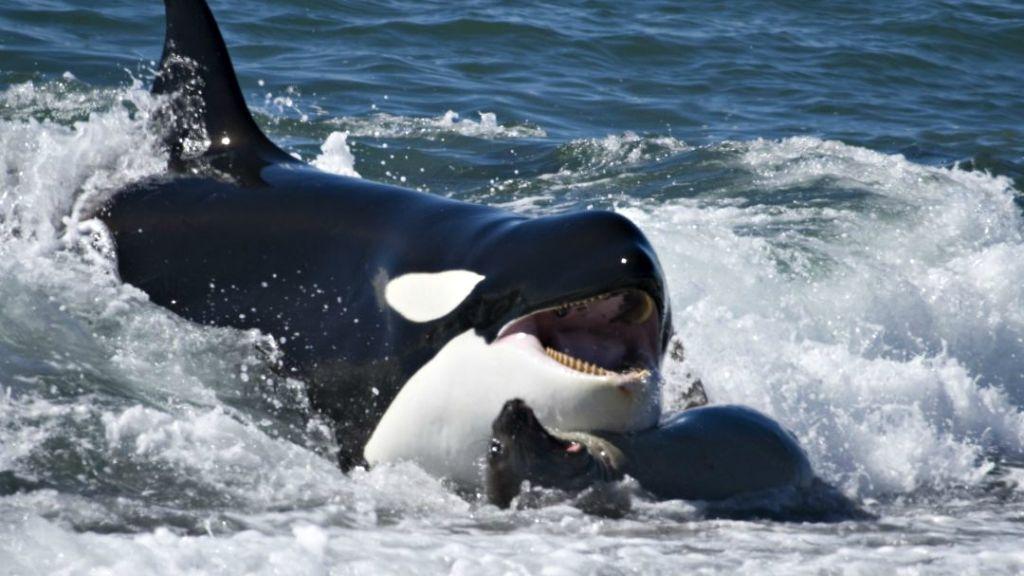 Φάλαινα-δολοφονός βγήκε στη... στεριά για να κυνηγήσει! | ΒΙΝΤΕΟ