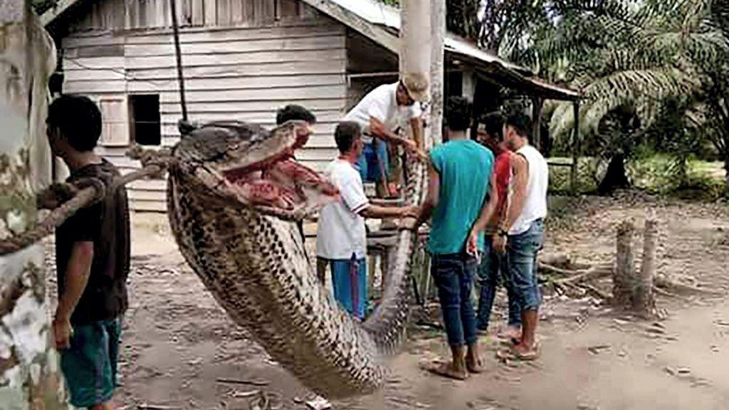 Έπιασαν φίδι-τέρας και χρειάστηκαν 5 άντρες για να το «κάνουν καλά»!