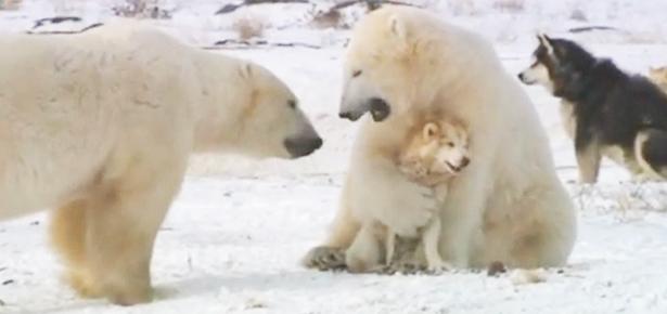 Σκυλιά παίζουν με πολική αρκούδα λες και είναι ΦΙΛΑΡΑΚΙΑ! | ΒΙΝΤΕΟ