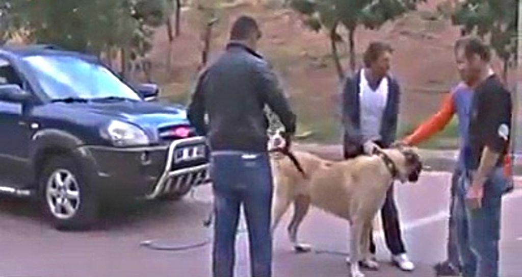 Γιγάντιο τσοπανόσκυλο σέρνει ΙΧ λες και είναι... έλκηθρο! | ΒΙΝΤΕΟ