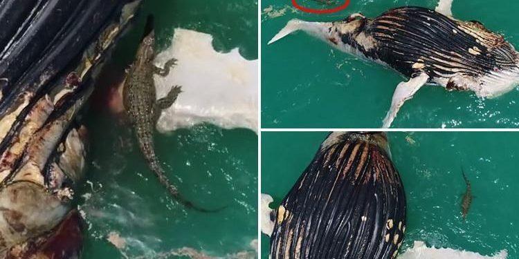 Καρχαρίες και κροκόδειλοι κατασπαράζουν κουφάρι φάλαινας!   ΒΙΝΤΕΟ
