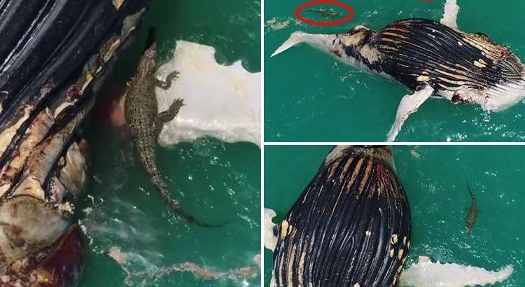 Καρχαρίες και κροκόδειλοι κατασπαράζουν κουφάρι φάλαινας! | ΒΙΝΤΕΟ