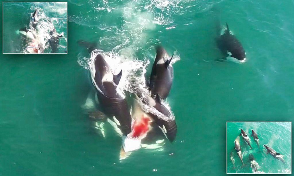 Σκληρές εικόνες: Φάλαινες-δολοφόνοι κατασπαράζουν ζωντανή άλλη φάλαινα! | ΒΙΝΤΕΟ