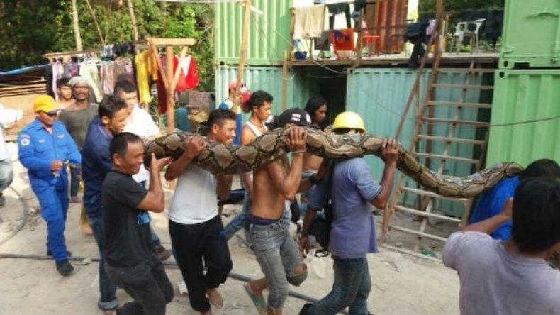 Αδιανόητο: Έπιασαν γιγάντιο πύθωνα 8 μέτρα μακρύ! | ΒΙΝΤΕΟ