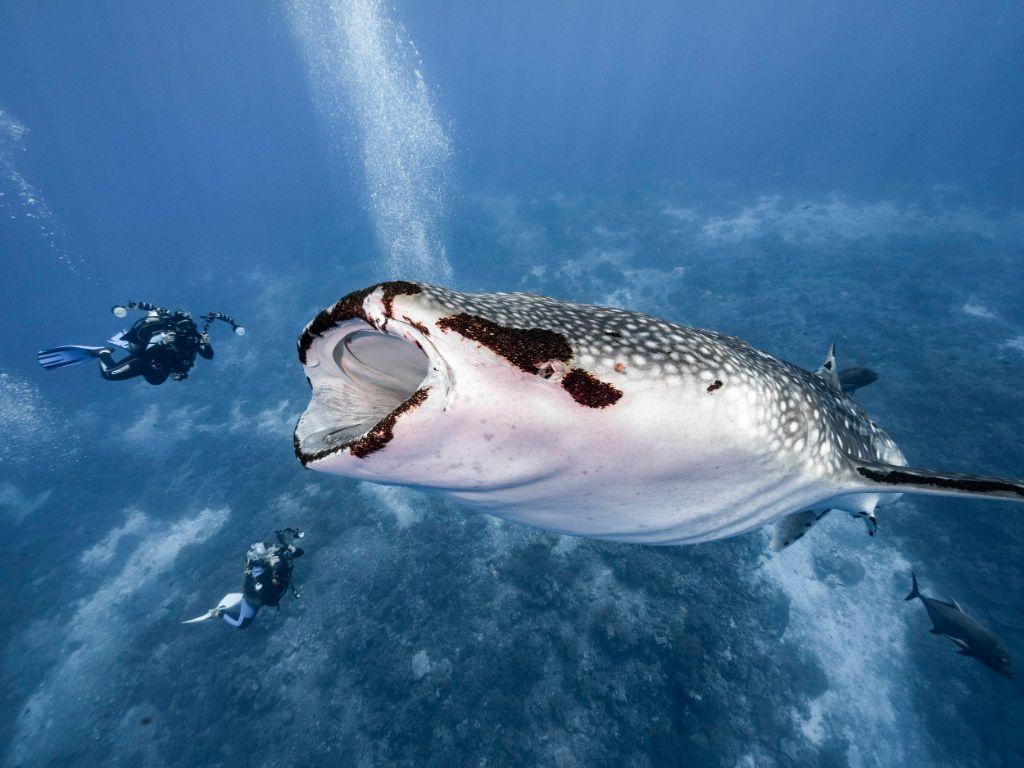 Κολυμπώντας δίπλα στον ΜΕΓΑΛΥΤΕΡΟ καρχαρία του πλανήτη | ΒΙΝΤΕΟ