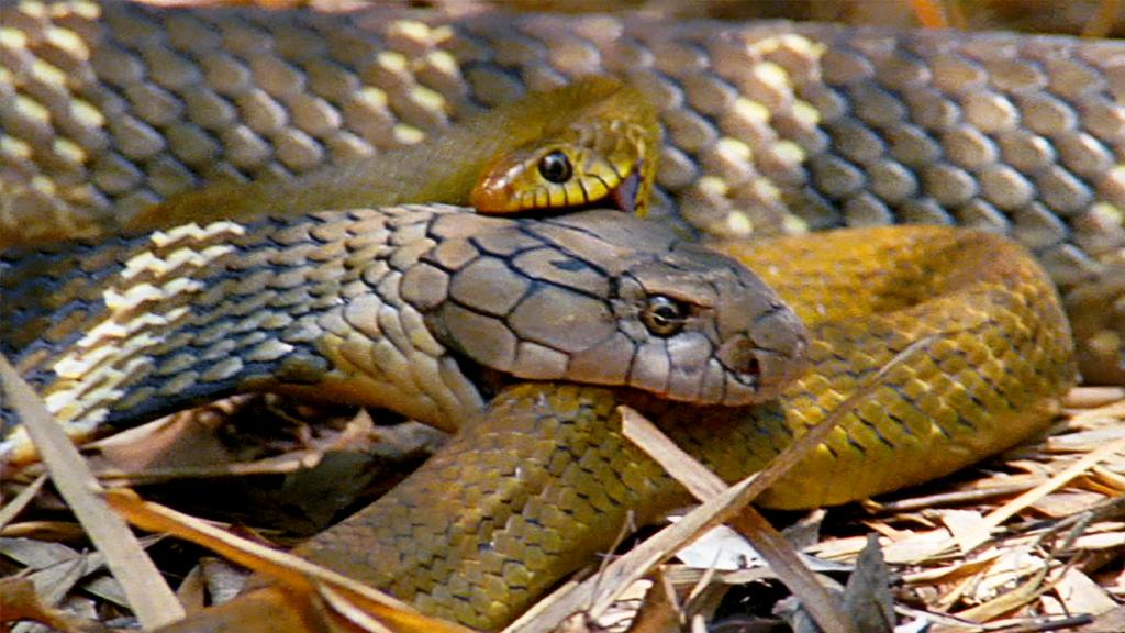 Αυτή η κόμπρα τρώει άλλα φίδια για... πρωινό! | ΒΙΝΤΕΟ