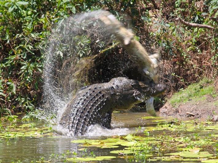 Φρίκη: Κροκόδειλος ΚΑΝΙΒΑΛΙΖΕΙ άλλο κροκόδειλο! | ΒΙΝΤΕΟ