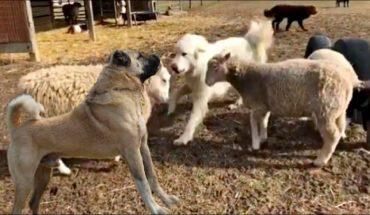 Τσοπανόσκυλο τα «κάνει πάνω του» όταν βλέπει... πρόβατα! | ΒΙΝΤΕΟ