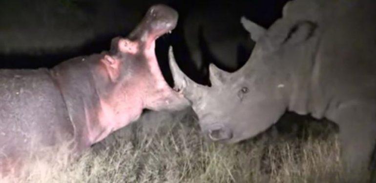 Επική μάχη: Ιπποπόταμος στέλνει ρινόκερο για... τσάι!   ΒΙΝΤΕΟ