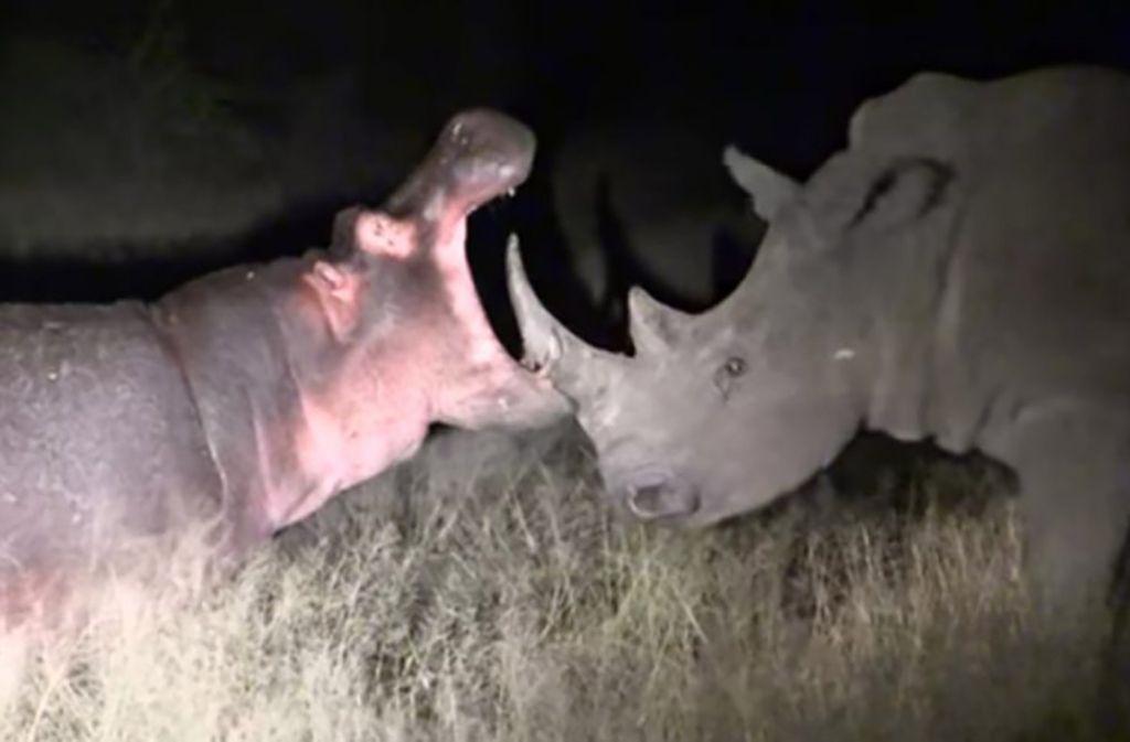 Επική μάχη: Ιπποπόταμος στέλνει ρινόκερο για... τσάι! | ΒΙΝΤΕΟ