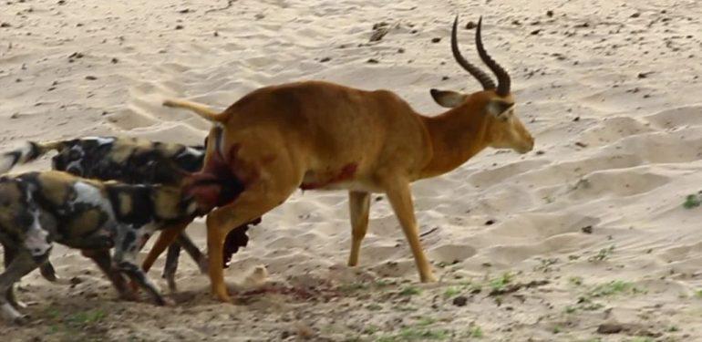 Σκληρές εικόνες: Αγριόσκυλα κατασπαράζουν ζωντανή αντιλόπη   ΒΙΝΤΕΟ
