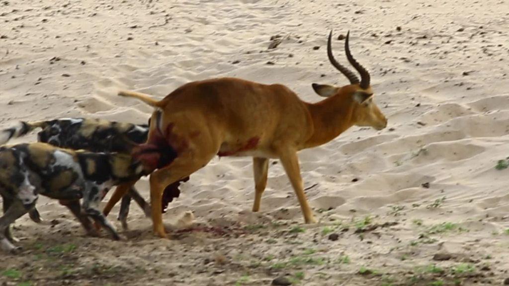 Σκληρές εικόνες: Αγριόσκυλα κατασπαράζουν ζωντανή αντιλόπη | ΒΙΝΤΕΟ