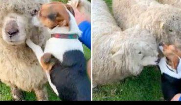 Σκύλος λατρεύει τα πρόβατα, δεν σταματάει να τους δίνει ΦΙΛΑΚΙΑ! | ΒΙΝΤΕΟ