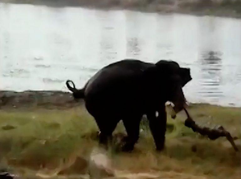 Φρίκη: Ελέφαντας ποδοπατεί άντρα μέχρι θανάτου! | ΒΙΝΤΕΟ