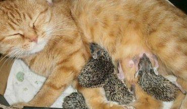 Αδιανόητο: Γάτα θηλάζει... νεογέννητους σκαντζόχοιρους! | ΒΙΝΤΕΟ