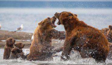 Αρκούδα ορμάει με μανία σε αρκούδα για να προστατέψει το μωρό της! | ΒΙΝΤΕΟ