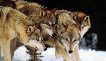 Δείτε τους «ραδιενεργούς» λύκους του Τσέρνομπιλ! | ΒΙΝΤΕΟ