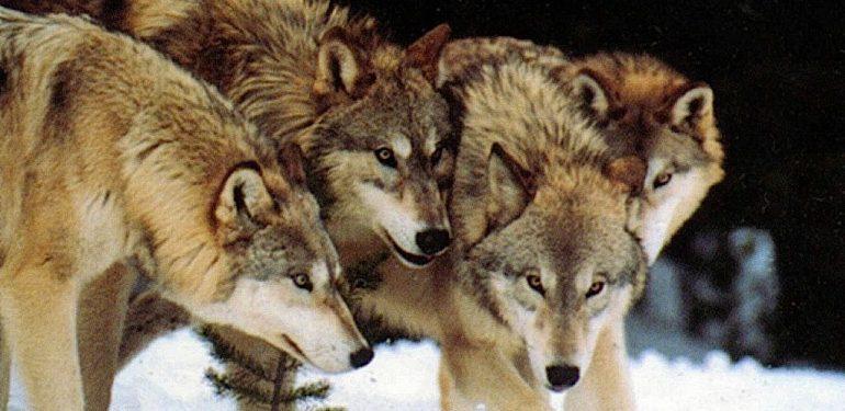 Δείτε τους «ραδιενεργούς» λύκους του Τσέρνομπιλ!   ΒΙΝΤΕΟ