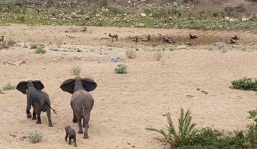 ΔΙΚΑΙΗ ΟΡΓΗ: Ελέφαντας προστατεύει το μωρό του από αγριόσκυλα! | ΒΙΝΤΕΟ