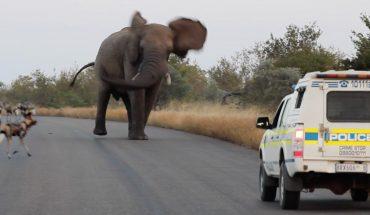 Ελέφαντας σπέρνει τον πανικό σε αγριόσκυλα και... αστυνομικούς! | ΒΙΝΤΕΟ
