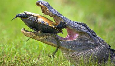 Κροκόδειλος ΤΣΑΚΙΖΕΙ χελώνα μέσα στο καβούκι της! | ΒΙΝΤΕΟ