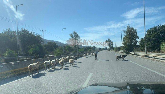 πρόβατα ΒΟΑΚ