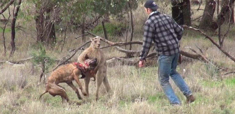 Τύπος παίζει «μπουνίδια» με καγκουρό για να σώσει τον σκύλο του!   ΒΙΝΤΕΟ