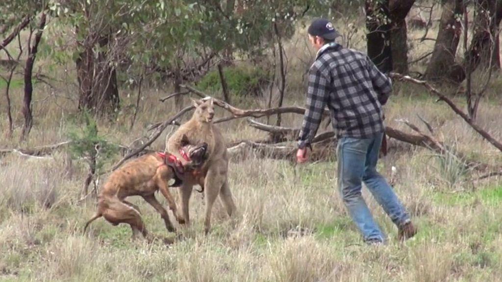 Τύπος παίζει «μπουνίδια» με καγκουρό για να σώσει τον σκύλο του! | ΒΙΝΤΕΟ