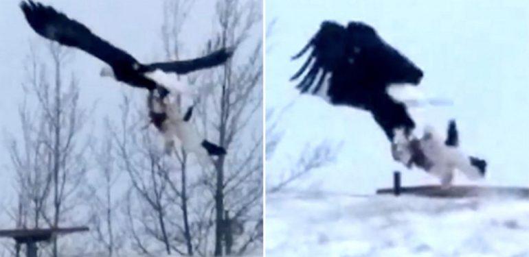 Αδιανόητο: Αετός κατασπαράζει χωρίς έλεος μία γάτα! | ΒΙΝΤΕΟ