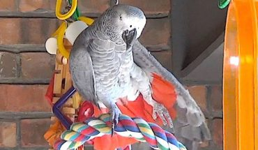 Αδιανόητο: Αυτός ο παπαγάλος κάνει ΓΙΟΓΚΑ! | ΒΙΝΤΕΟ