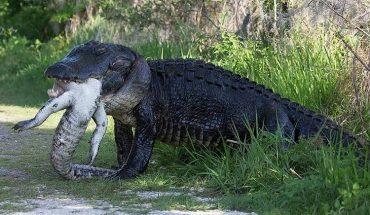 Φρίκη: Αλιγάτορας κατασπαράζει αλιγάτορα! | ΒΙΝΤΕΟ
