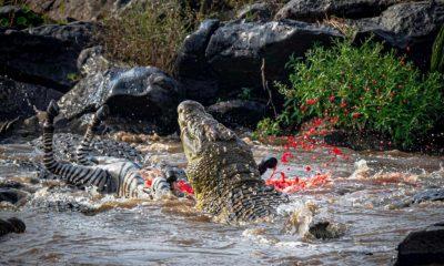 Κροκόδειλοι ΞΕΠΑΣΤΡΕΥΟΝ κοπάδι με ζέβρες σε χρόνο dt! | ΒΙΝΤΕΟ